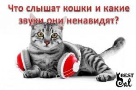 Что слышат кошки и какие звуки они ненавидят-фото