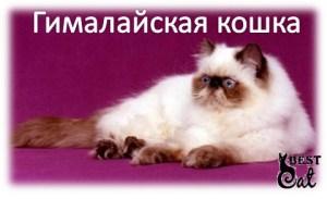 кошка-гималайская