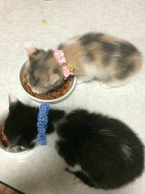 仔猫のみやびとふうがご飯を食べる