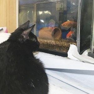 金魚をみつめるヒイちゃん
