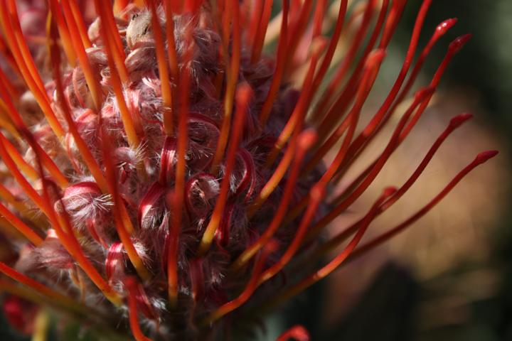 Red Pincushion Protea
