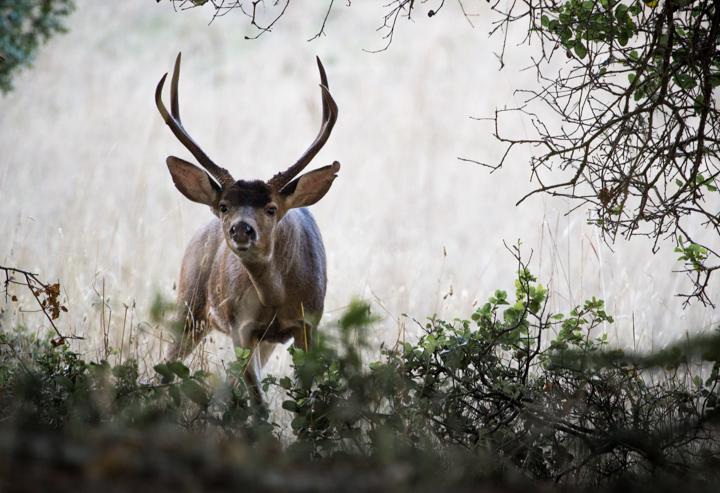 Deer, Point Reyes National Seashore