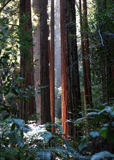 Redwood Grove in West Marin