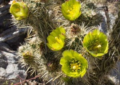 Flowering cholla cactus