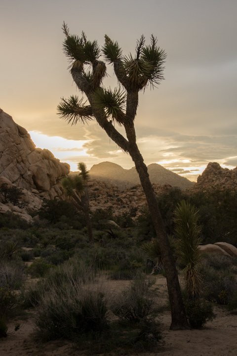 Evening light at Joshua Tree
