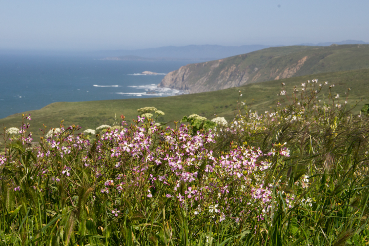 Spring wildflowers of Point Reyes