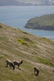 Tule Elk reserve at Point Reyes National Seashore