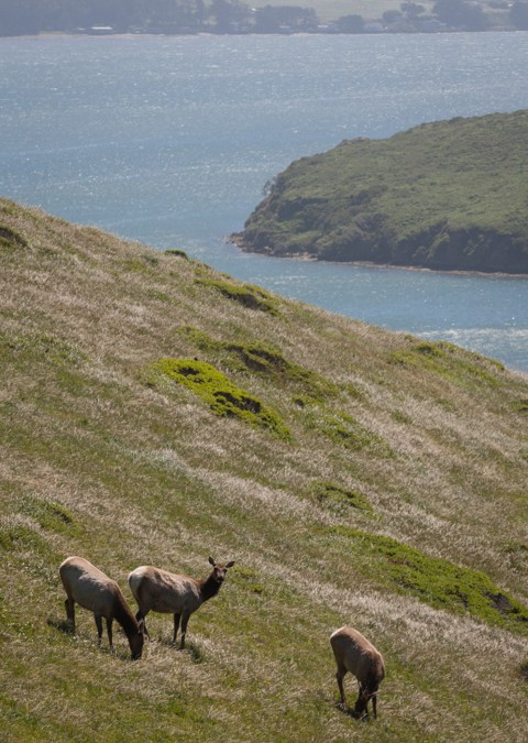 Tule Elk – Point Reyes