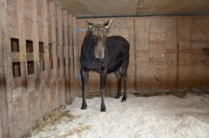 cllc-moose