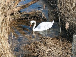 Swan, Filter Beds, Lea Valley