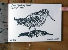 Woodcock, pen drawing © Catherine Cronin