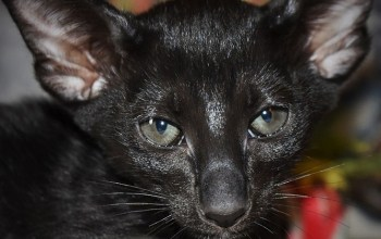 Oriental short hair kitten for sale from Cataristocrat-Barney
