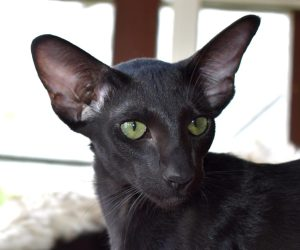 Oriental Shorthair Cat Thais of Athens featured