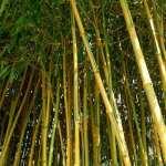 bambu apus