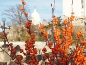 views of the U.S. Capitol through orange berries