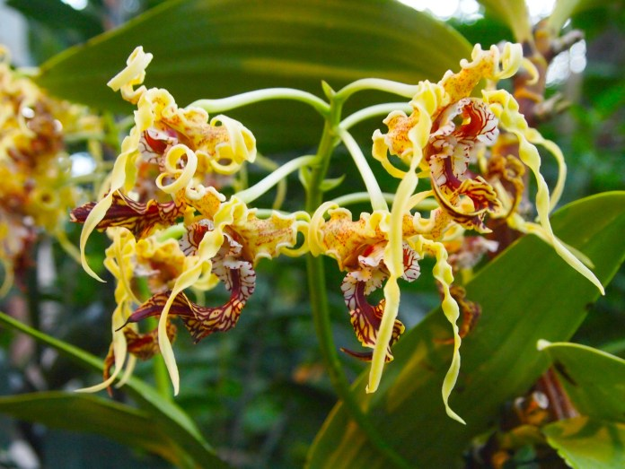 orchid from New Guinea to Solomon Islands