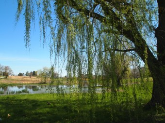 Weeping willow and the pond