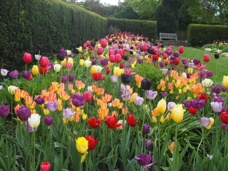 Tulips in the Herbaceous Borders