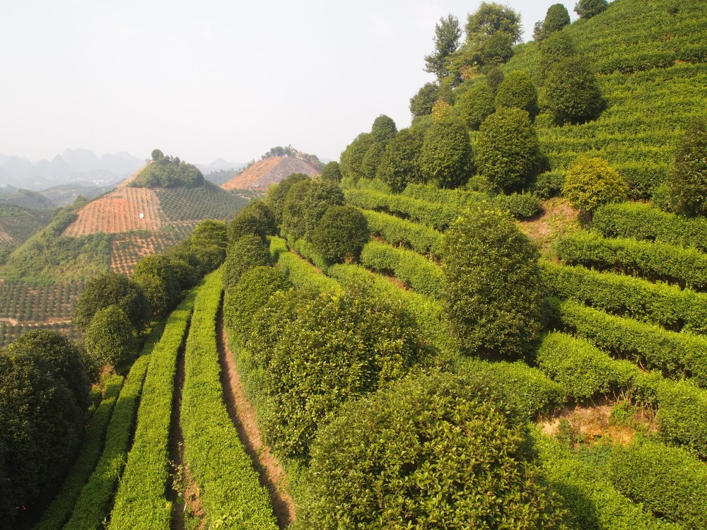 the seven star tea plantation and return to yangshuo (1/6)