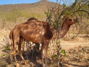 a camel in Wadi Darbat, Salalah, Oman
