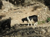 a little goat friend
