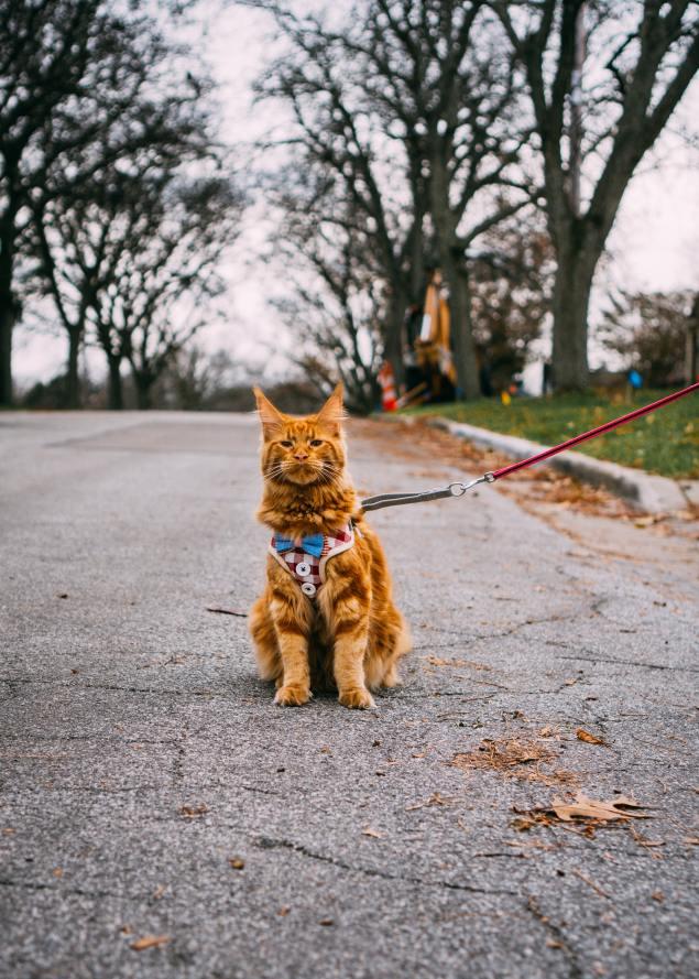 orange cat walking on a leash