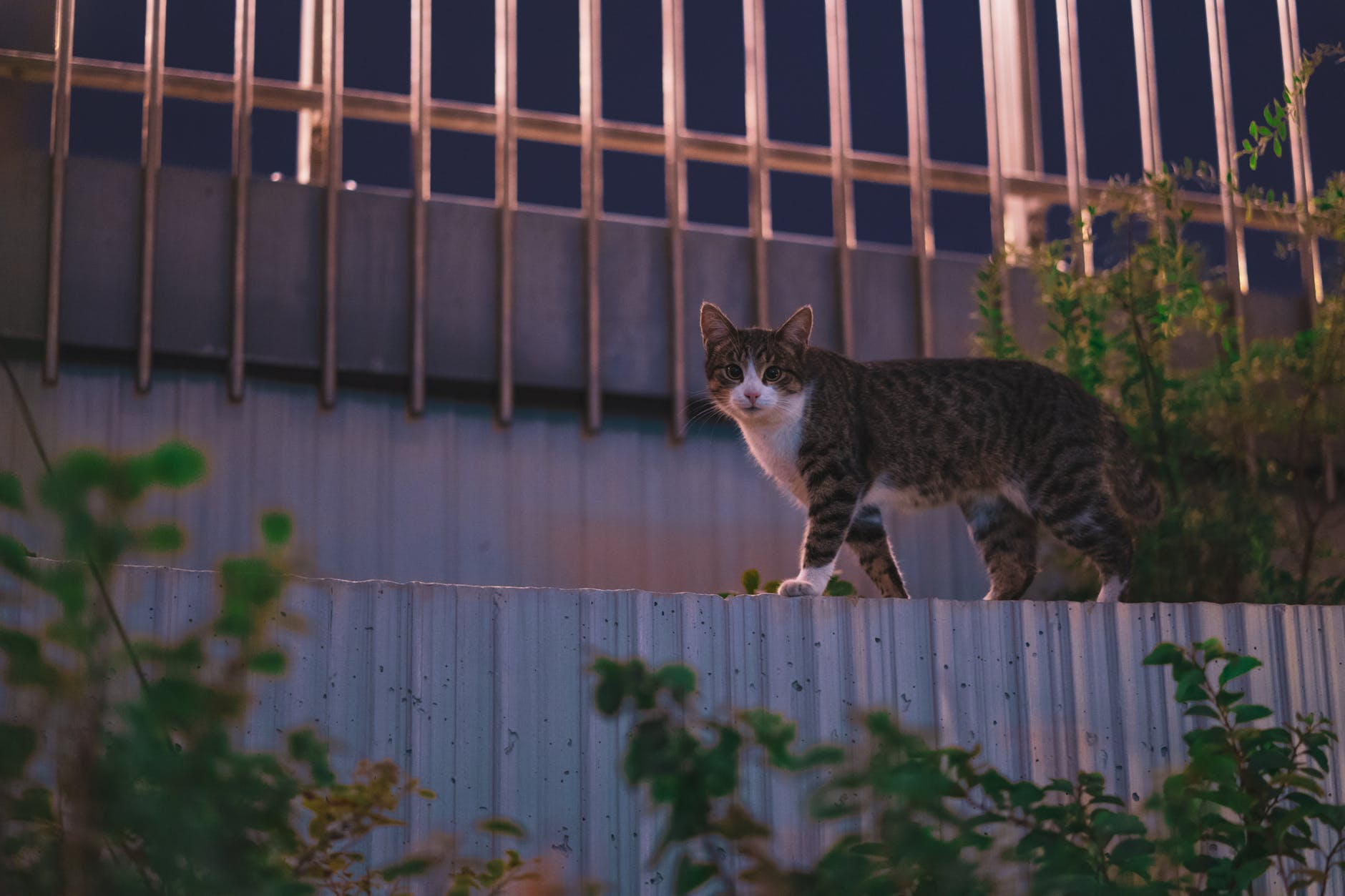 cat waking on top of the fence
