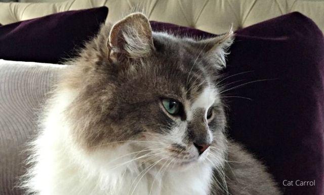 A big Ragdoll blue eyes cat on pink background