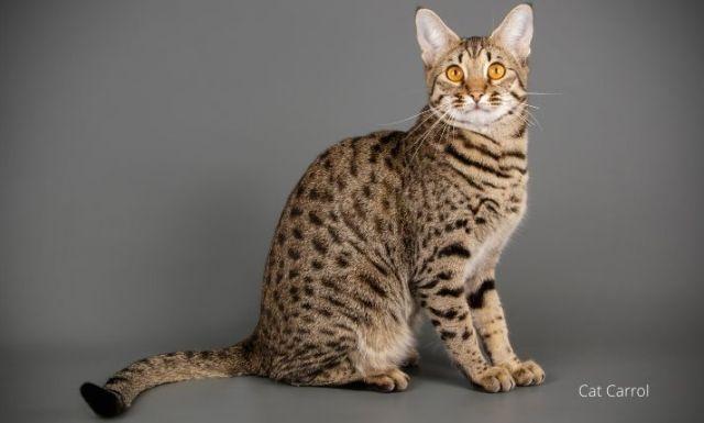 An adorable Savannah cat with long tail