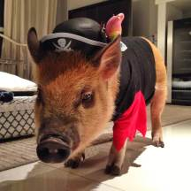 Jamon, a mini pig from São Paulo, Brazil, just may be the most handsome devil on Instagram right now. The pig has amassed more than 55,000 followers who fawn over his every move and his festive outfits, from Hawaiian shirts to sombreros, and even turtle costumes.