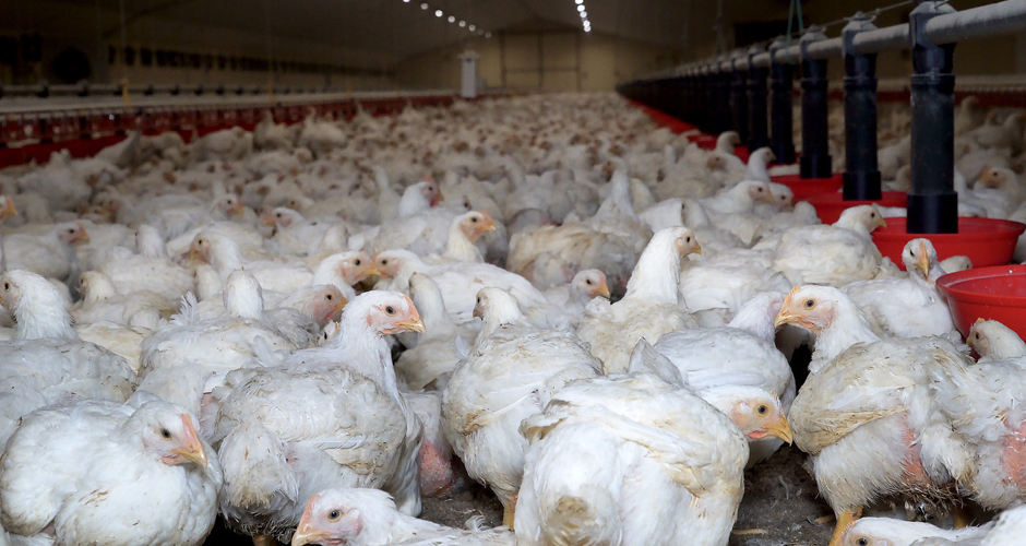Bird Flu - All You Need To Know About the Avian Influenza