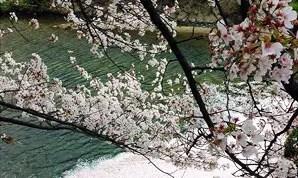 桜情報・花筏の時期になってきました