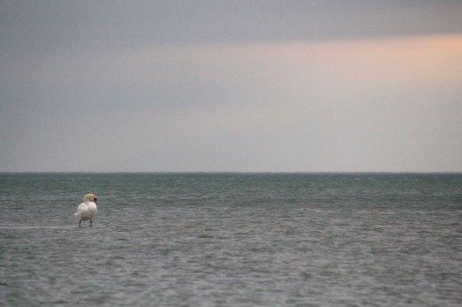 Swan_Storm