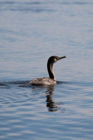 IMG_8332_cormorant