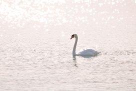 Sparkle on Swan