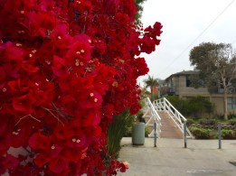 Bougainvillea blossoms on the Venice Canals. Los Angeles, CA, May 2016