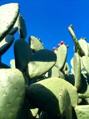 Giant cactus. Big Sur, CA, May 2016