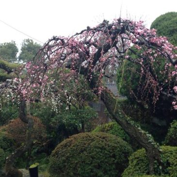 CherryBlossomsJapan