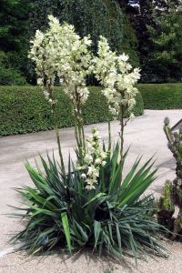 Yucca Plant in a Manicured Lawn