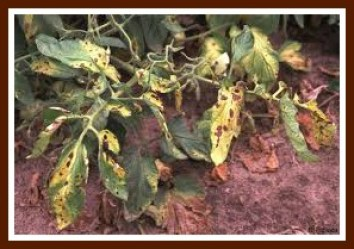 Tomato plant which had seen better days