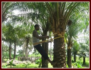 Palm wine tapper ascending the tree
