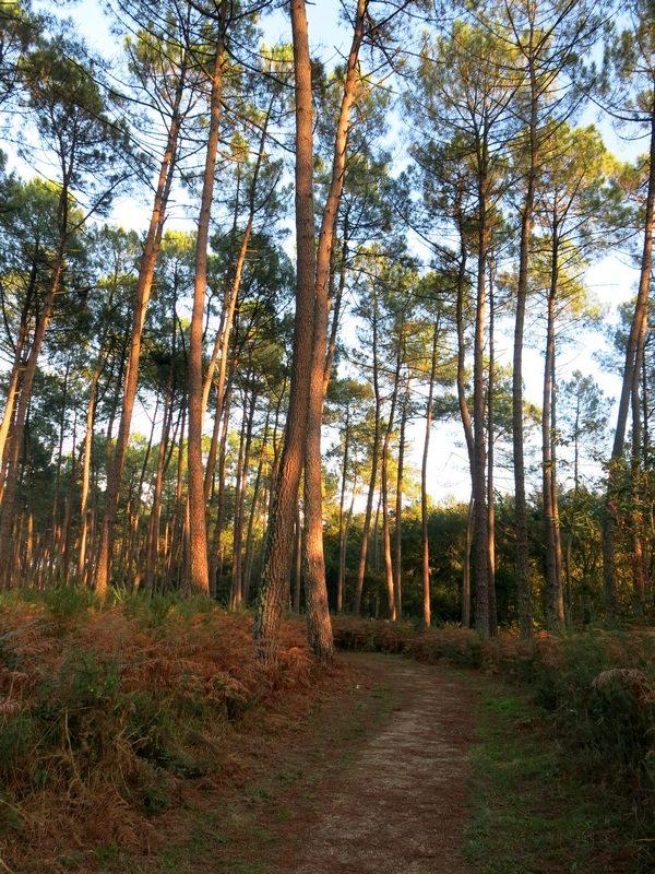 Forêt de pins landaise
