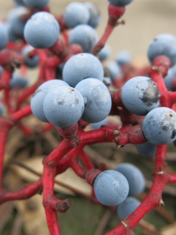 baies bleues de vigne vierge