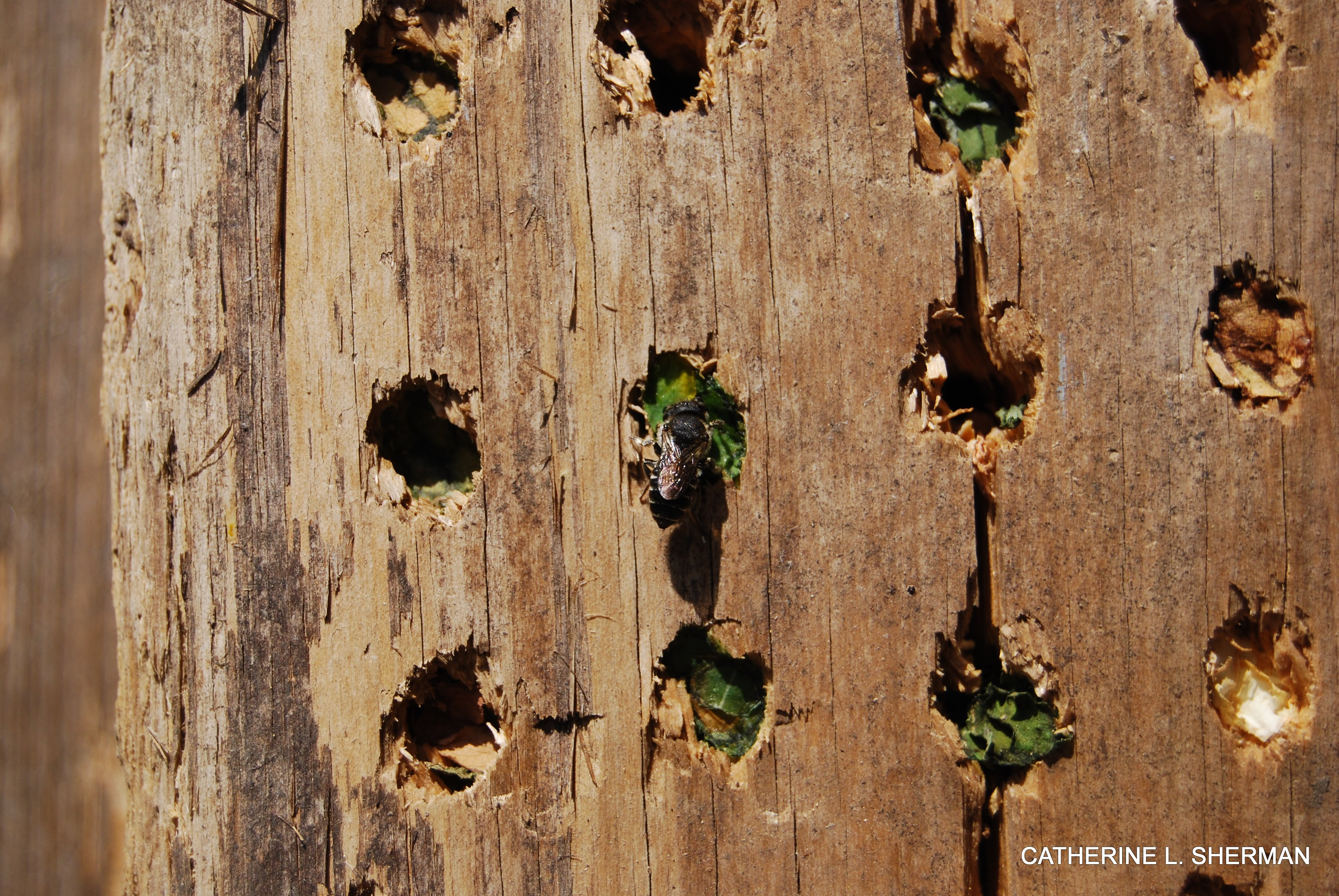 A leaf cutter bee enters its home drilled in a cedar plank. Leaf cutter bees are solitary but don't mind living close to other leaf cutters.