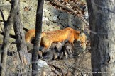 Six fox kits compete for a space at their mother's nipples.