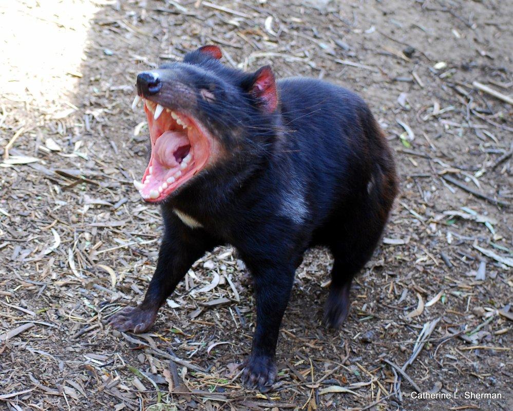 Scientists Discover Origin of a Cancer in Tasmanian Devils  (1/2)