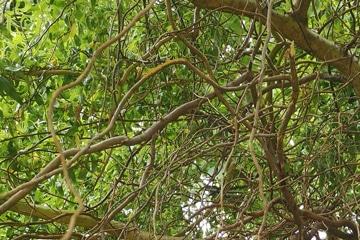 branche arbre noueux