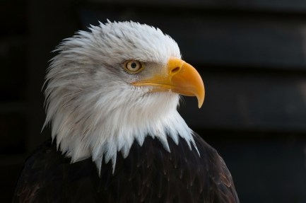 bald-eagles-341898_1920
