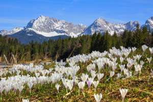 wildflower meadow with early spring crocus geroldsee and karwendel mountains scenic spring landscape germany