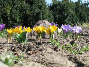 Yellow and purple crocuses in spring, The crocuses family.the first flowers of spring
